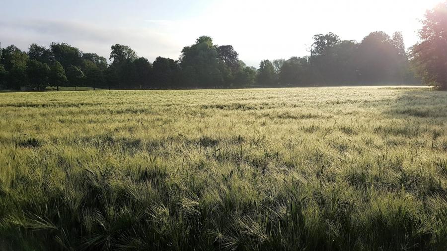 NdeZ_Feld mit Aehren